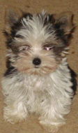 YORKIE2004a.png