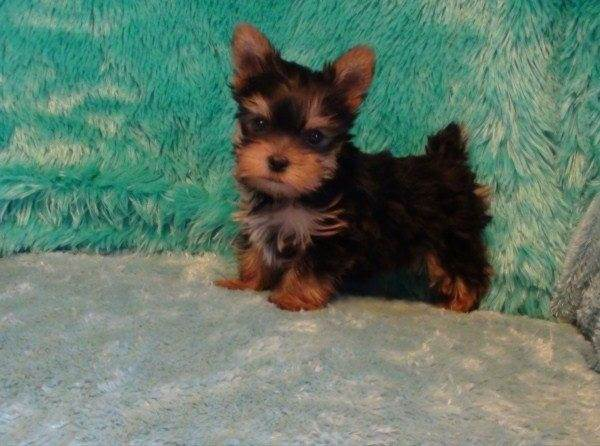 yorkie oklahoma teacup yorkies for adoption in oklahoma 8166