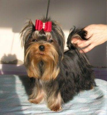 Yorkshire Terriers Oklahoma