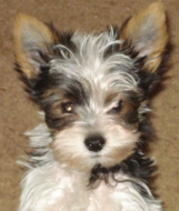 YORKIE2005a.png